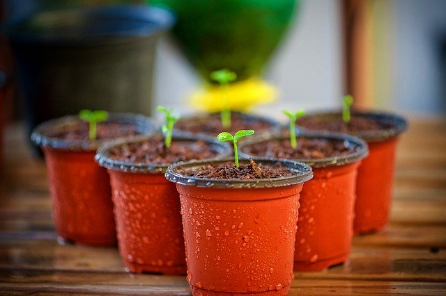 Pěstování kvetoucích rostlin pod umělým světlem