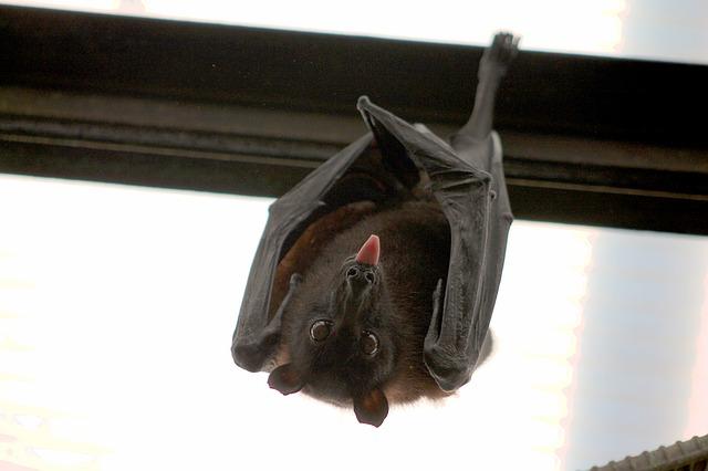 zavěšený netopýr